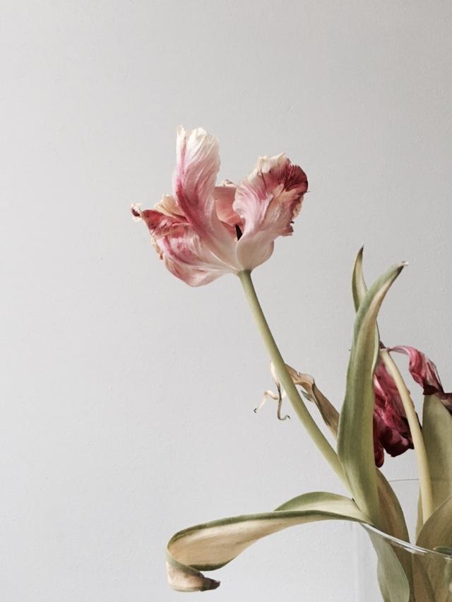 tulip 4.jpg