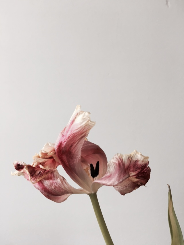 tulip 6.jpg