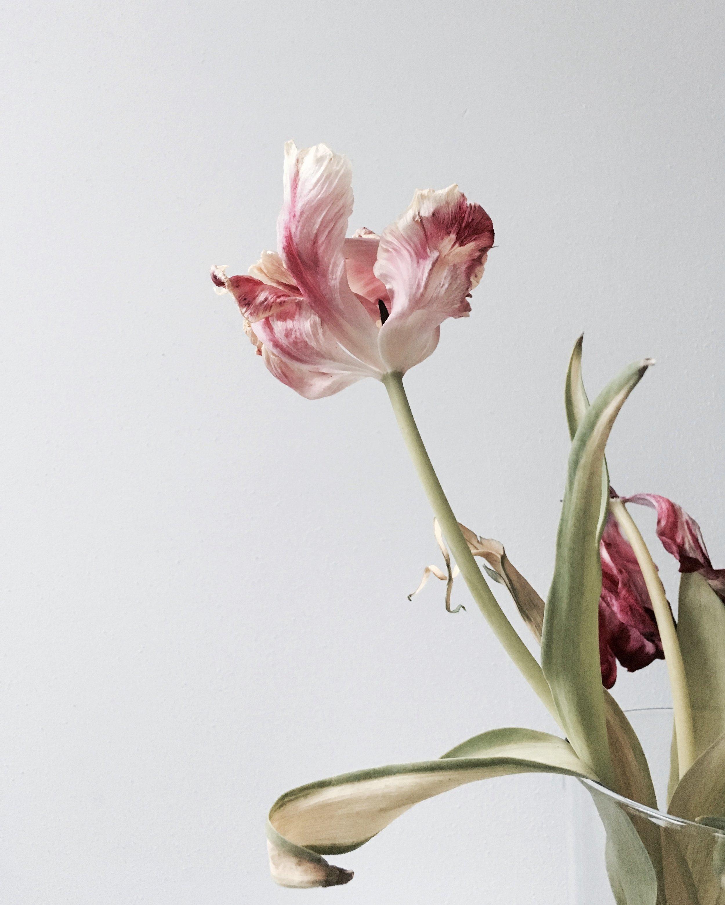 tulip 2.JPG