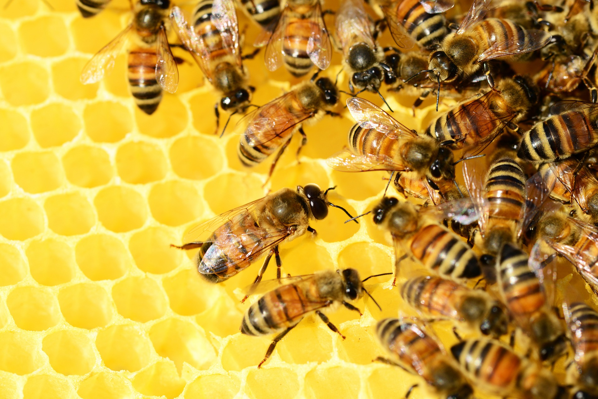 honey-bees.jpg