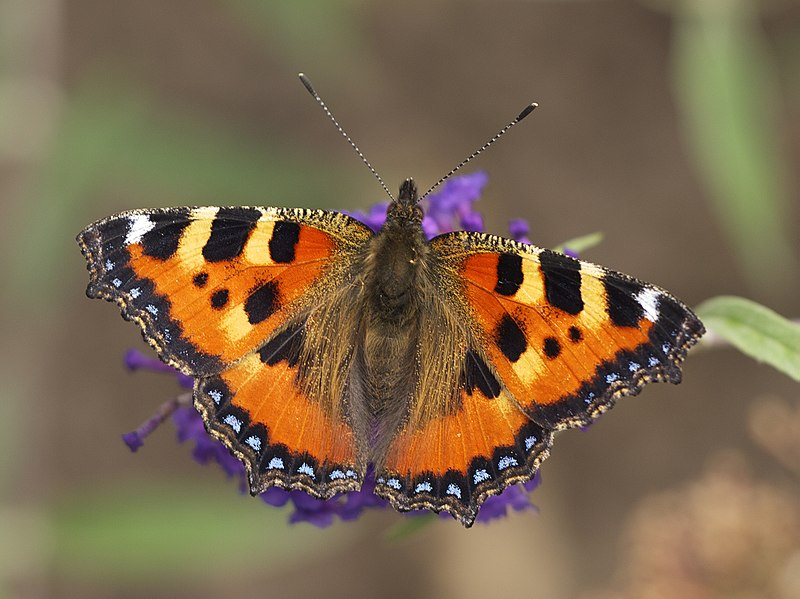 Small tortoiseshell butterflies were observed in the field margins
