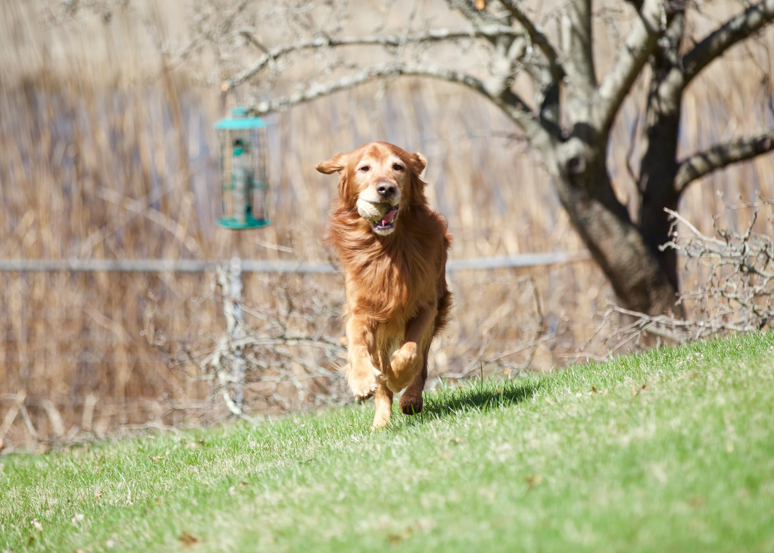 Getting a dog to hand you the ball when he retrieves is often the hardest part of training   fetch  .A marker at the moment he releases it into your hand can help him understand how to get the reward of another throw.