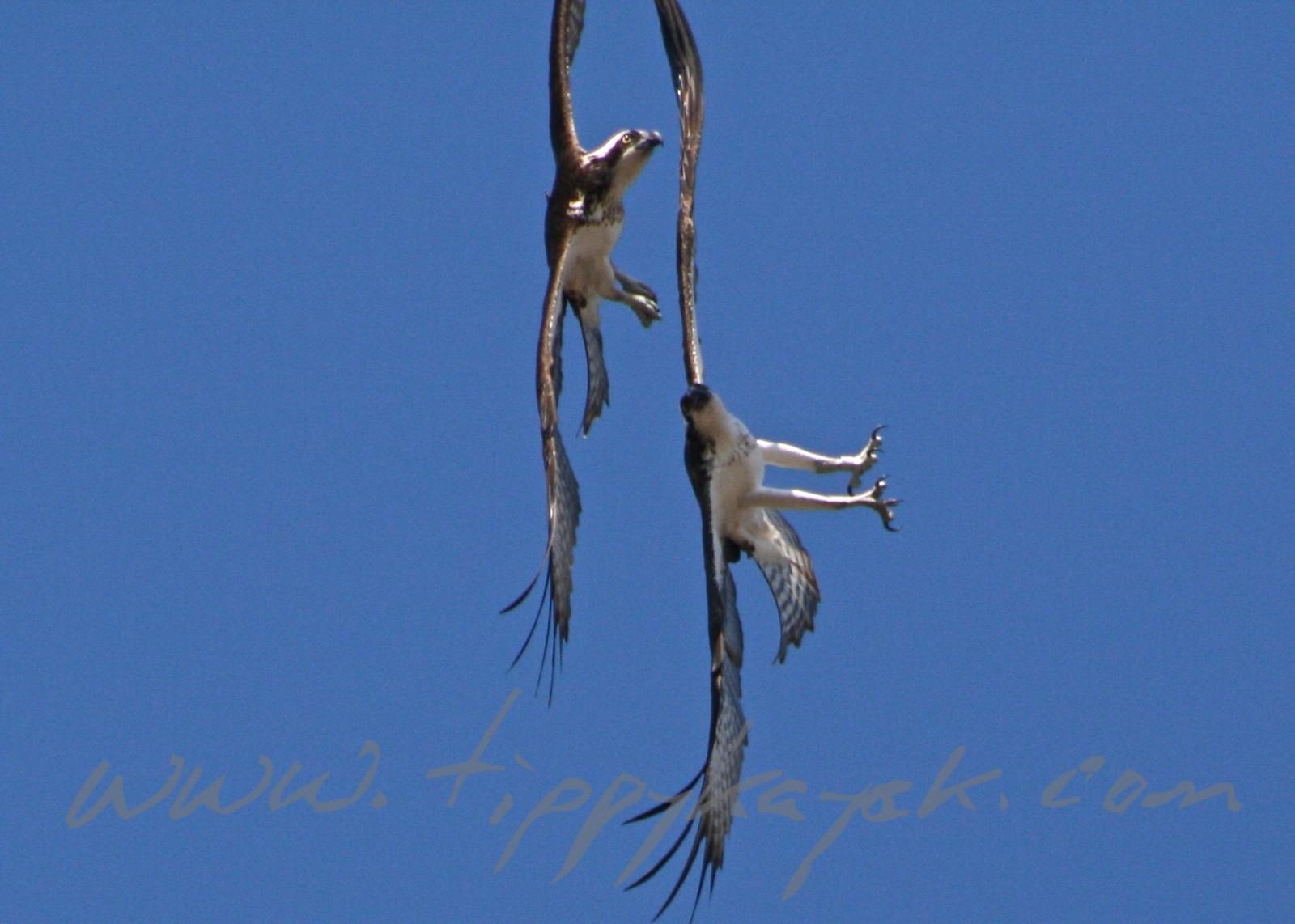 Ospreys.jpeg