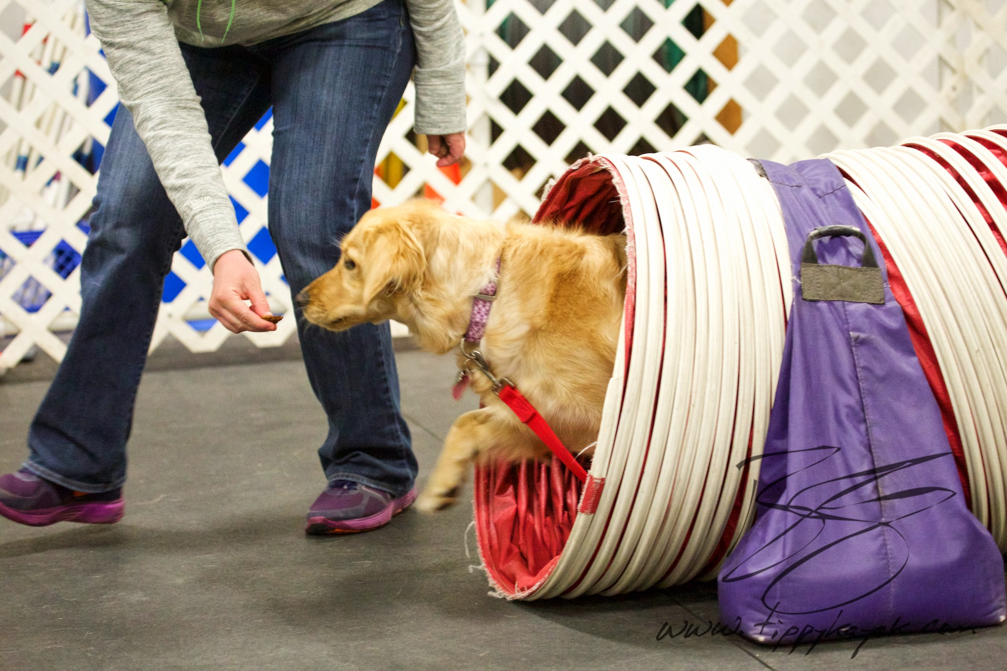 Ella was really scared of the tunnel at first, and she wouldn't go through it during her first exposure. So we just let her examine it during that session and rewarded her for checking it out. When we tried again two weeks later, we were able to build on that first experience and lure her through it with some yummy treats. Experiences like this can help teach a dog to be more confident around new and strange things.
