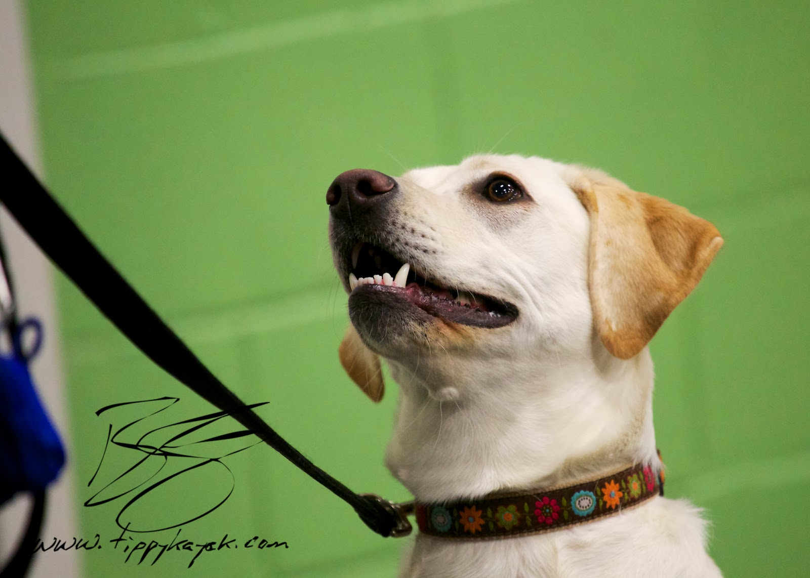 Maggie plays the eye contact game with her handler at a  Paws N' Effect Family Dog Training Basics class.
