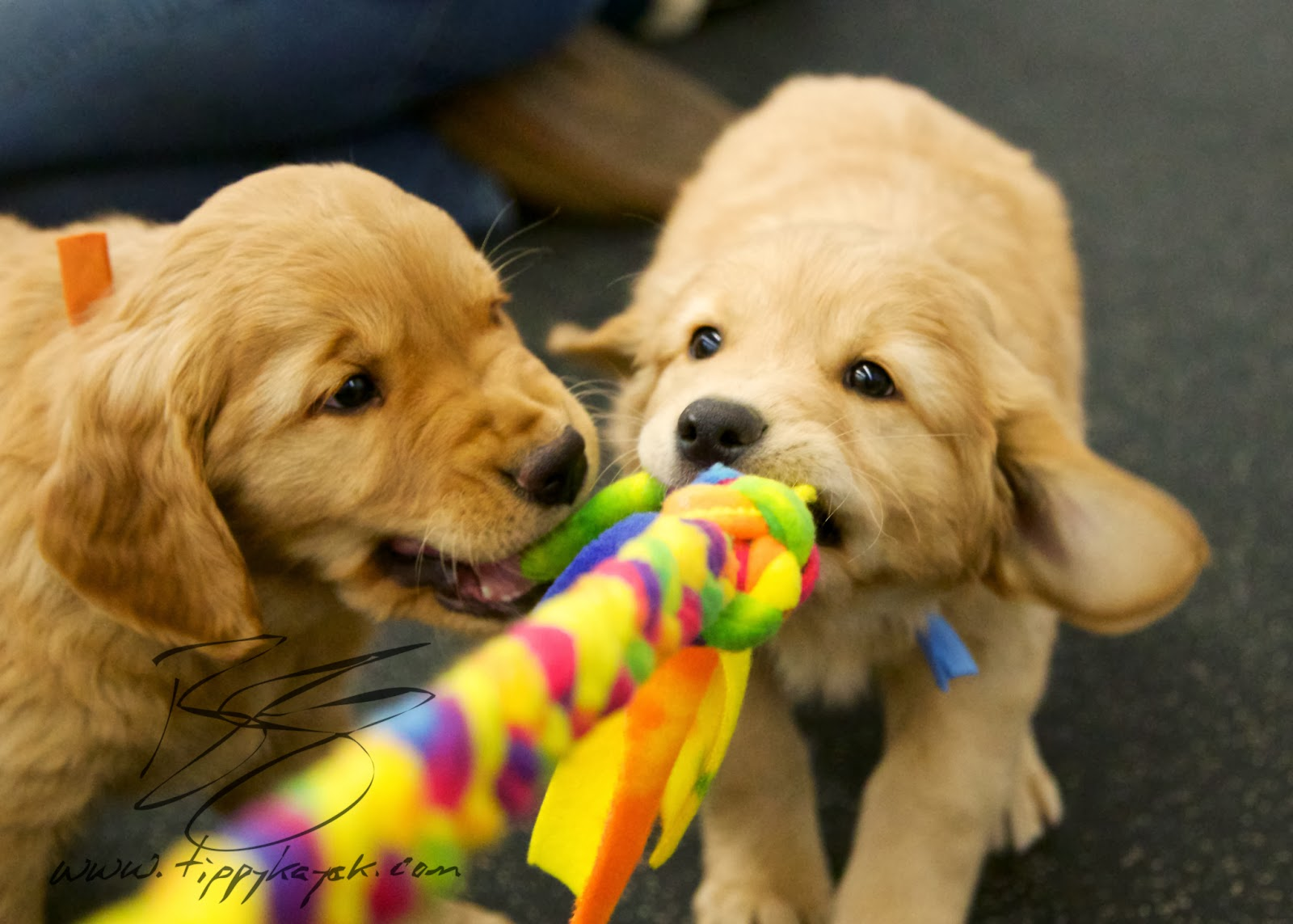 At eight weeks, puppies are typically interested in social interactions, and they tend to explore the world with their mouths.