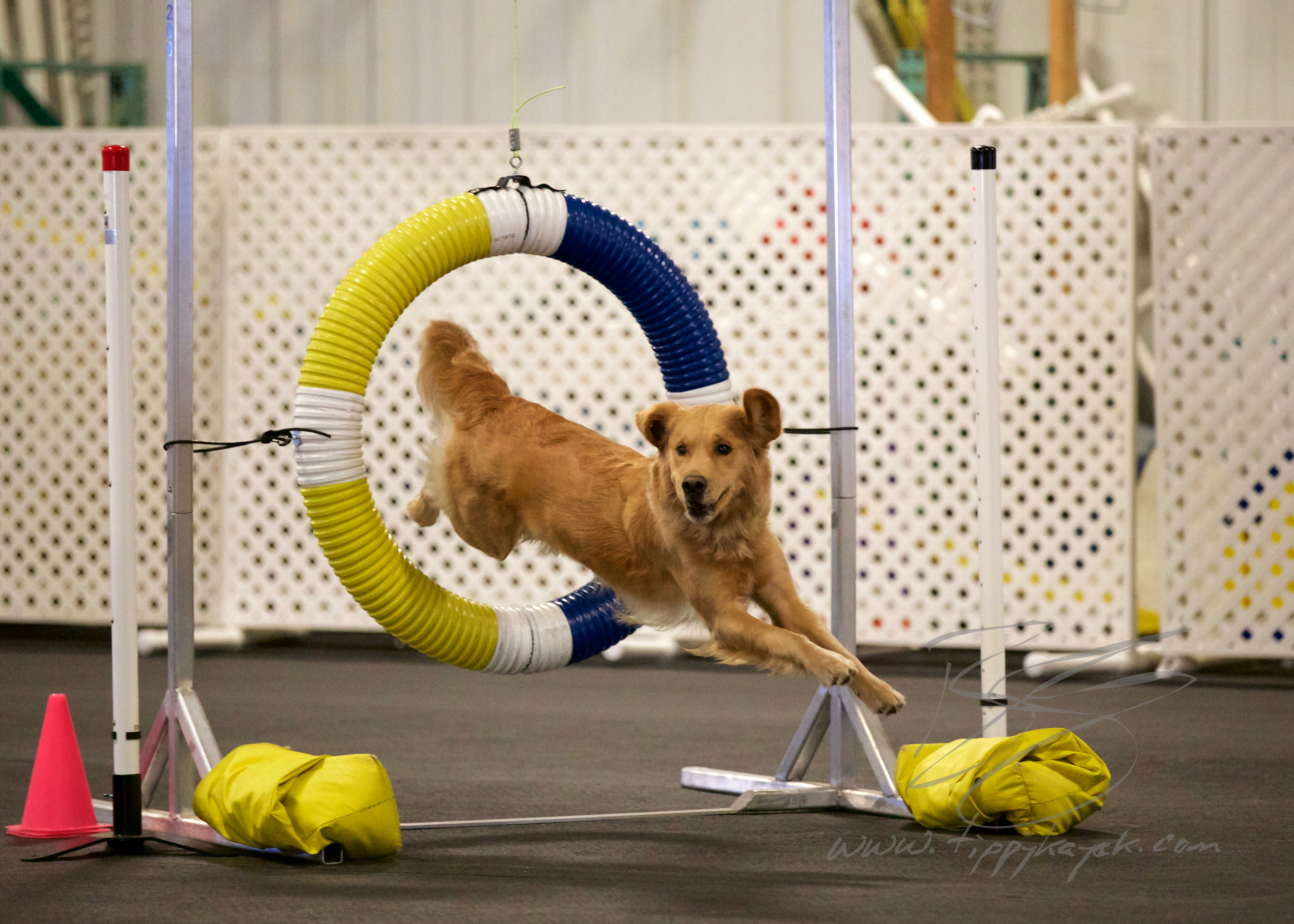 Lots of agility competitors use differential reinforcement to get faster, more precise behavior in competition.