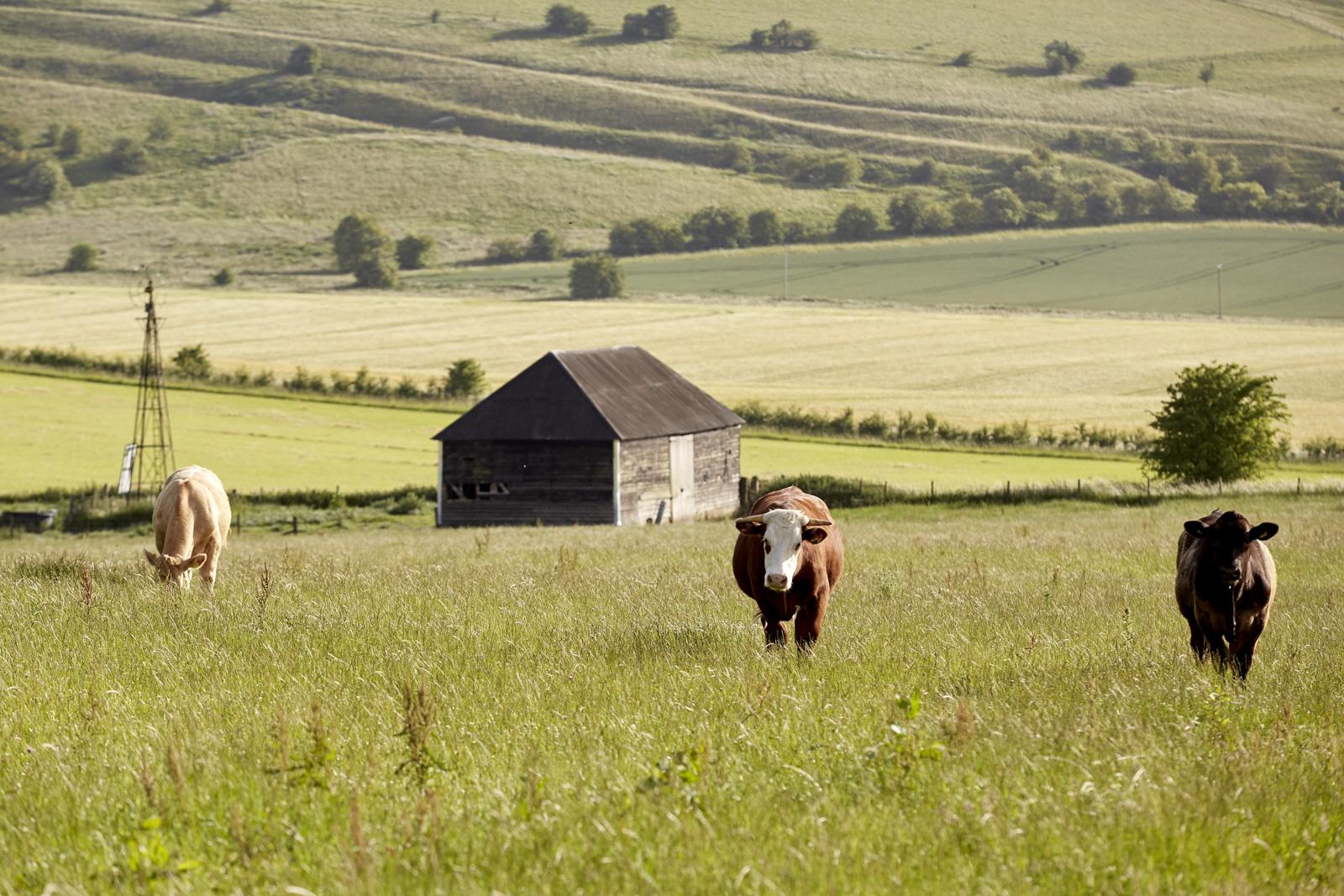WW_LAWN_FARM_COWS_003.jpg