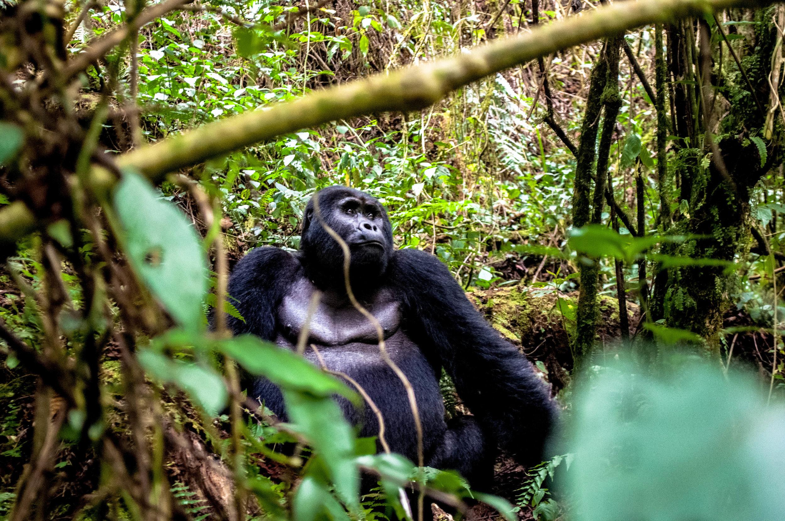Gorilla-4.jpg