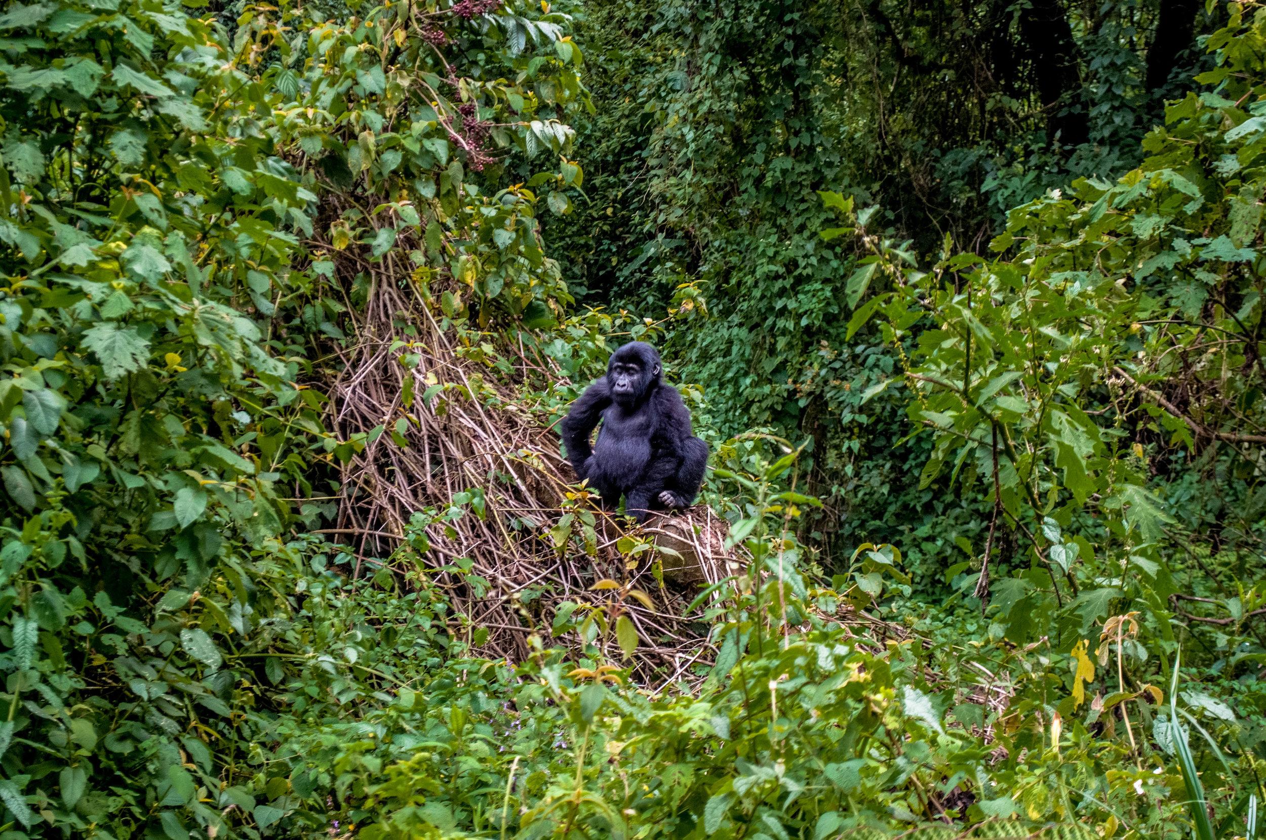 Gorilla-7.jpg