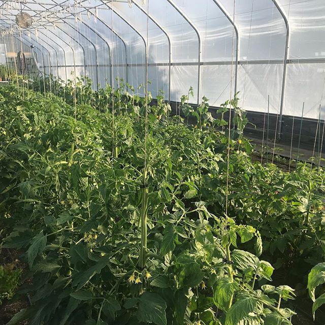 #goldenhour #mountaingrownfarm #sunset #tomatoes #cucumbers