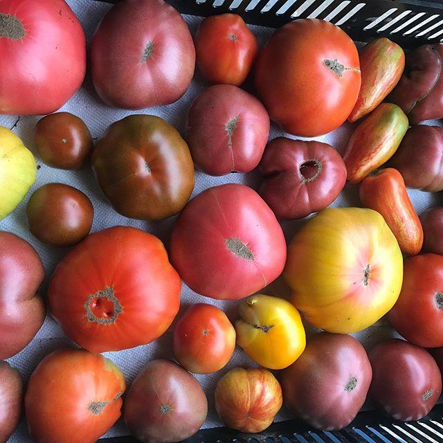 #tomatoes #mountaingrownfarm