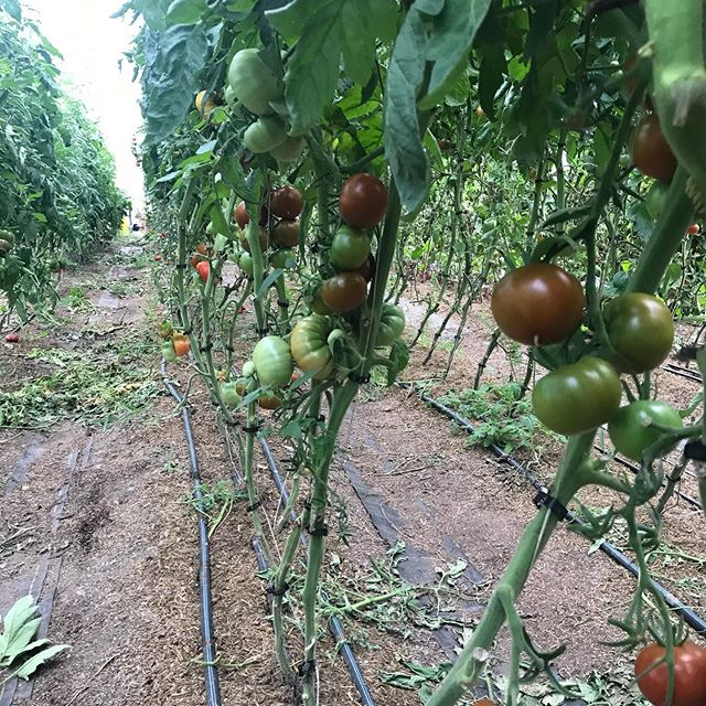 Tons of tomatoes! We are ready to offer slicers for sale in bulk, $2/lb. Message your orders, pickup on farm, in Fayetteville or Cazenovia.