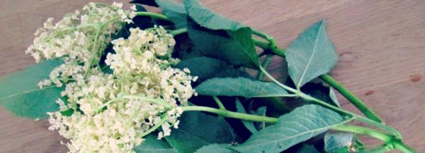elder flower lemonade recipe; image: elderflower with leaves