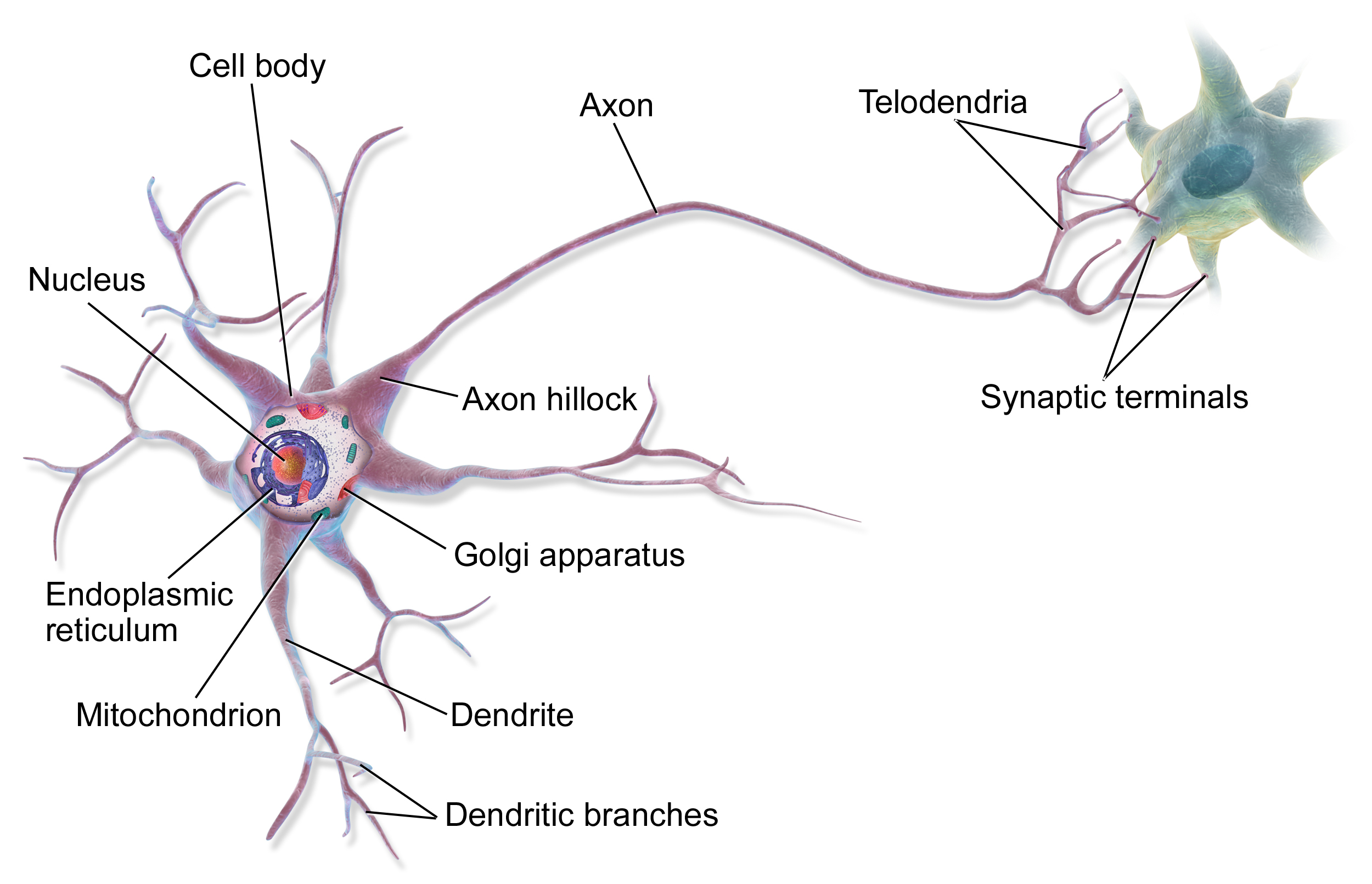 Anatomy of a multipolar neuron. Source:  BruceBlaus