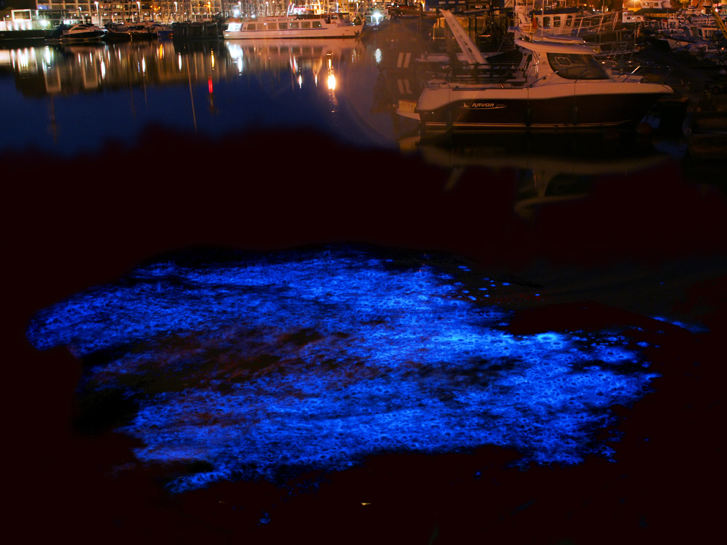 Noctiluca scintillans, 'zeevonk' in Dutch, in Zeebrugge (Belgium). Photo:  Wiki , Hans Hillewaert ( C BY-SA 4.0 )