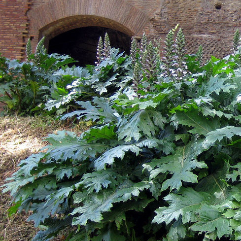 Source: Acanthus article, Wikipedia