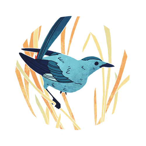 Gray Catbird  digital, 2015