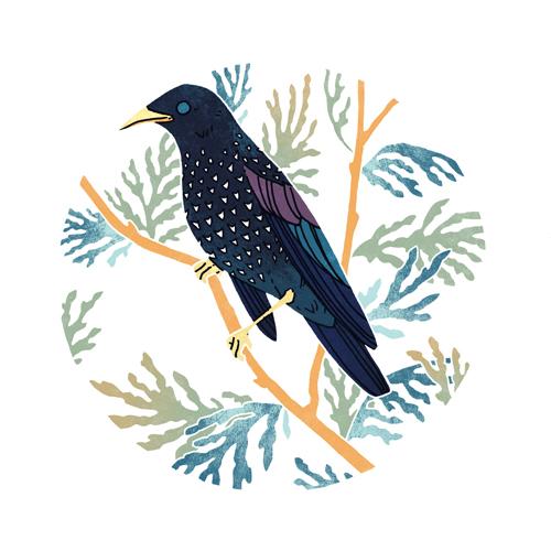European Starling  digital, 2015