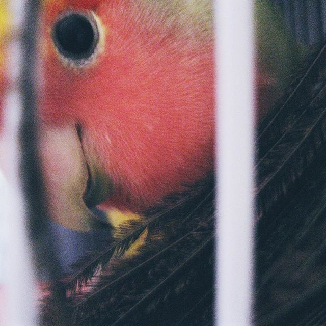 It's my little guy's birthday! 15 years old! #lovebird #peachfacedlovebird