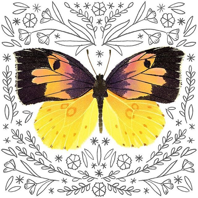 Getting these guys printed and ready for calendar season! A male California Dogface butterfly. . . .  #butterfly  #butterflies #californiadogface  #butterflyart #butterflylove #butterflyillustration #natureillustration #butterflydrawing
