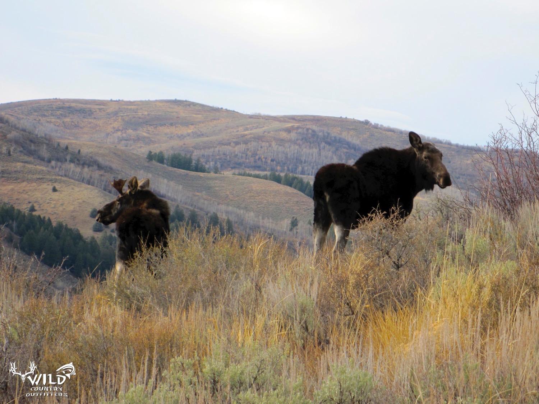 wildlife bull cow shiras moose utah.jpg