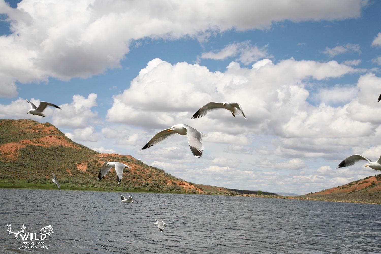 wildlife fly fishing ponds utah seagulls.jpg