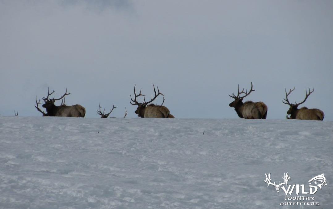 Utah wildlife bull elk.jpg