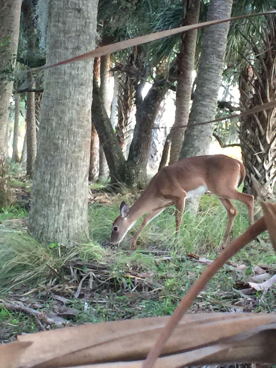 deseret-cattle-citrus-florida-ranch-doe-deer.jpg