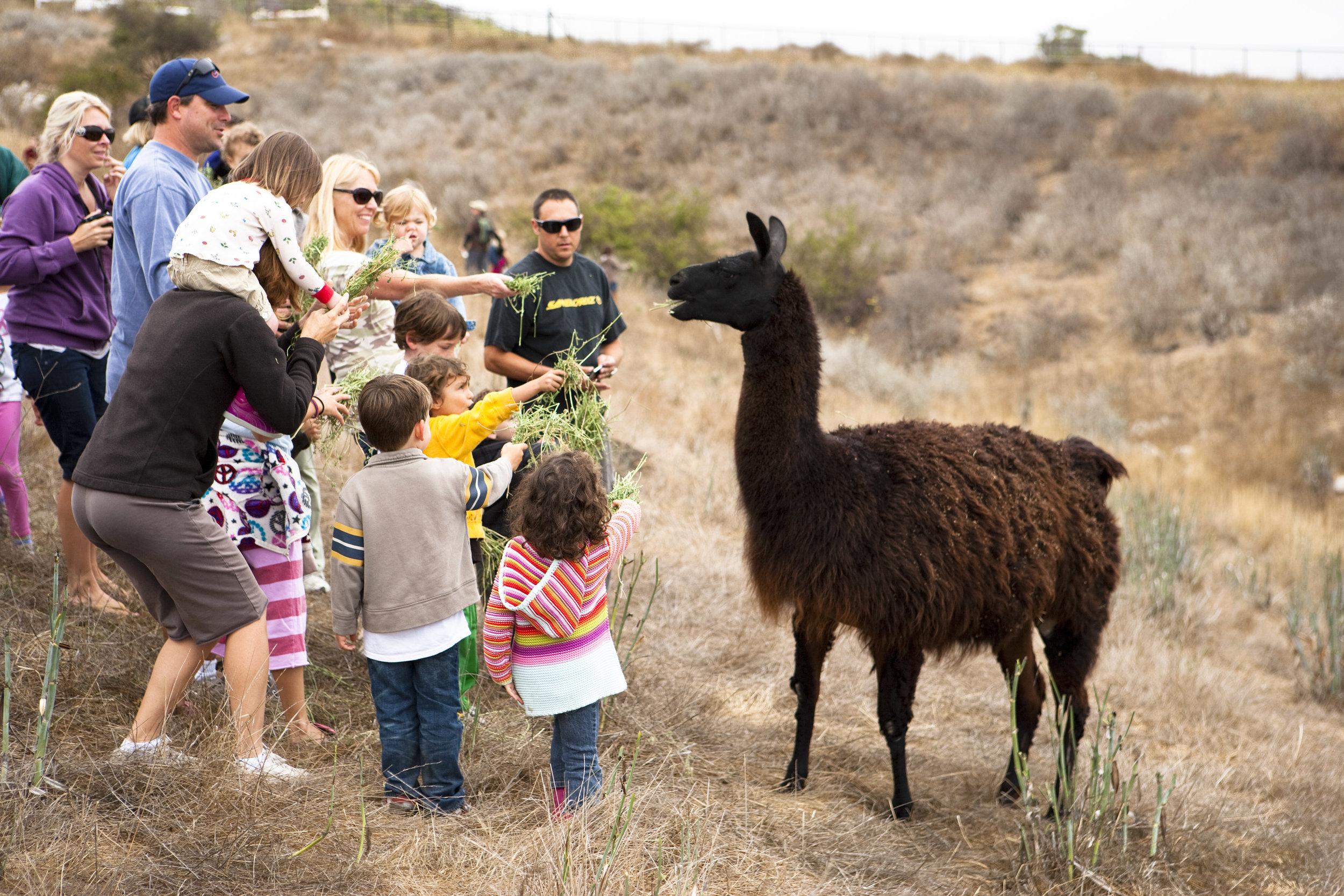 Feeding-the-Llama.jpg