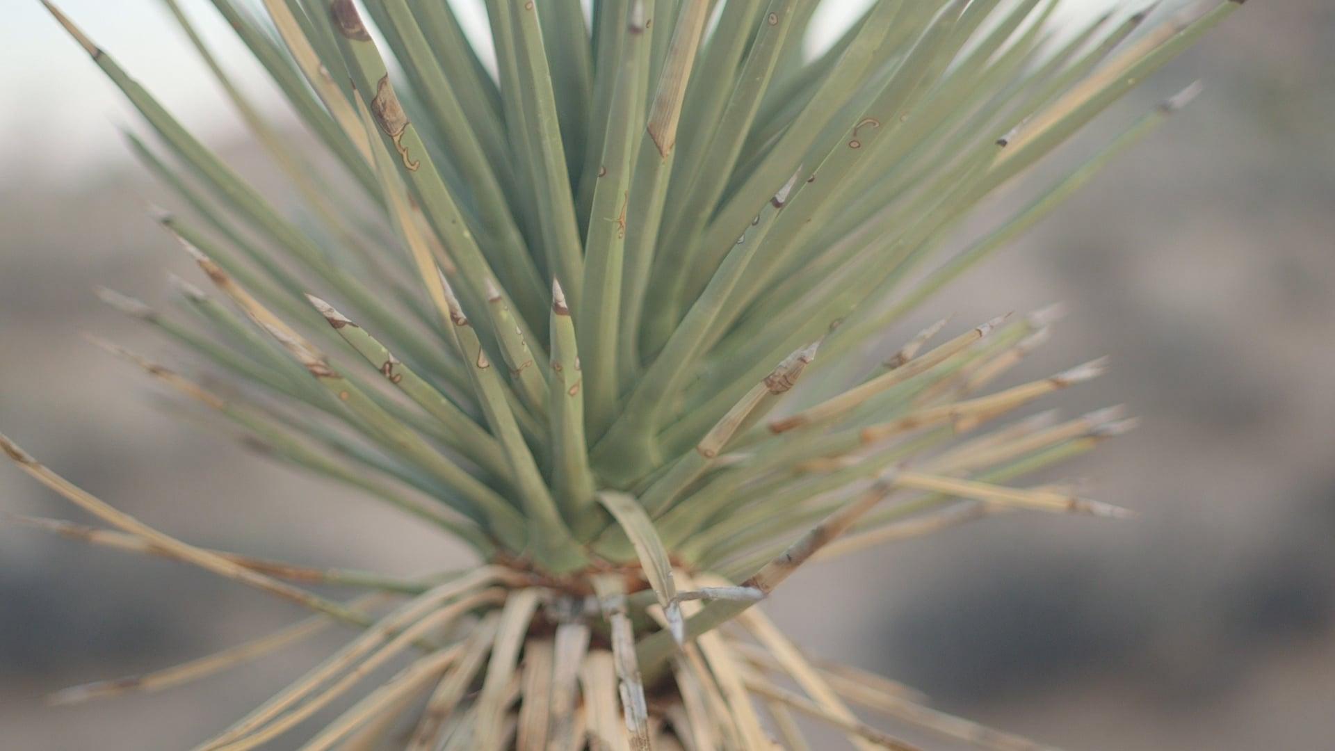 cactus-joshua tree-lima-nature-woodwalk