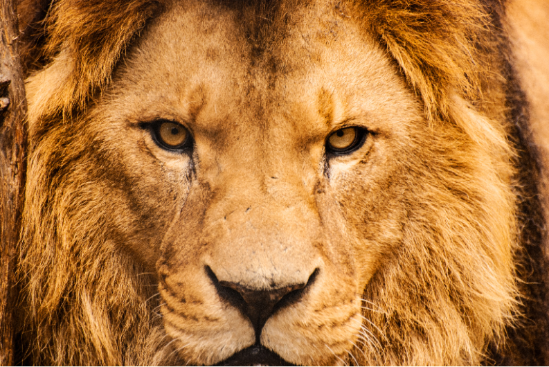 Lion-of-Judah-793x530.png