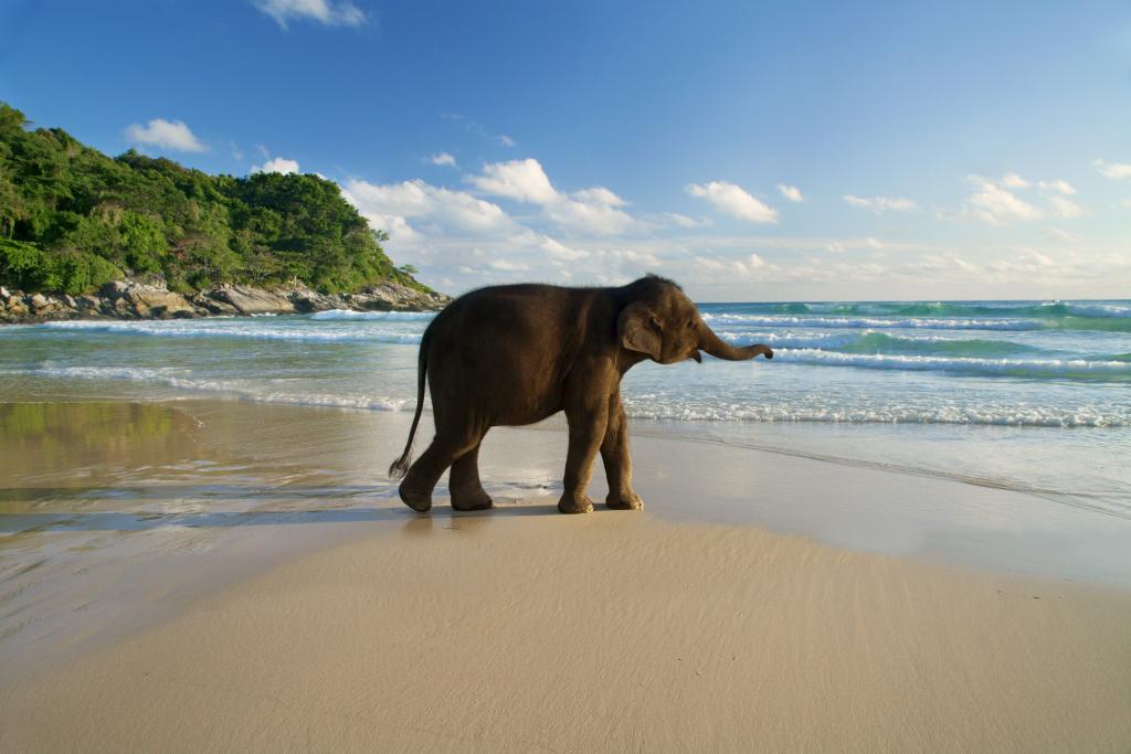 baby-elephant-on-a-beach-in-phuket-27230 (1).jpg