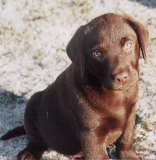 Scoobles cute puppy.png