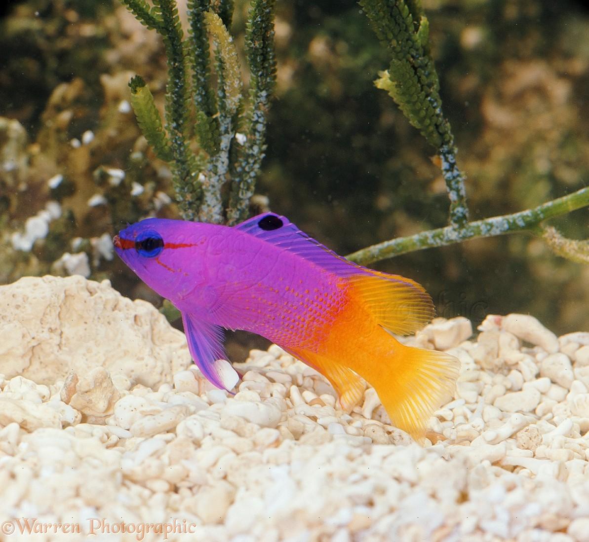 08367-Royal-Gramma-fish.jpg