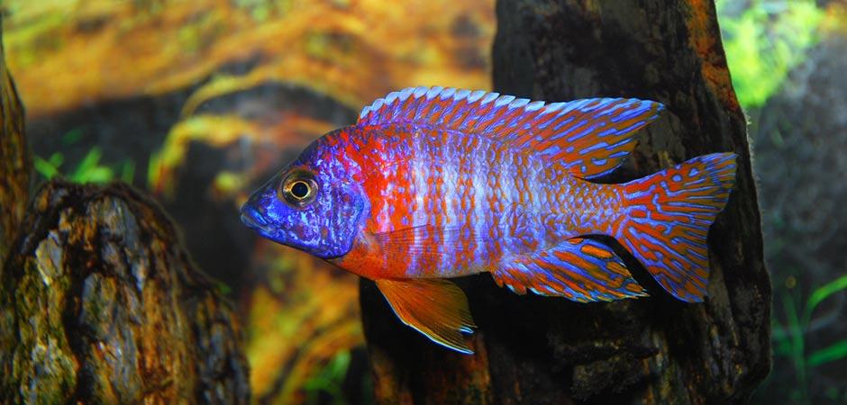 african peacock.jpg