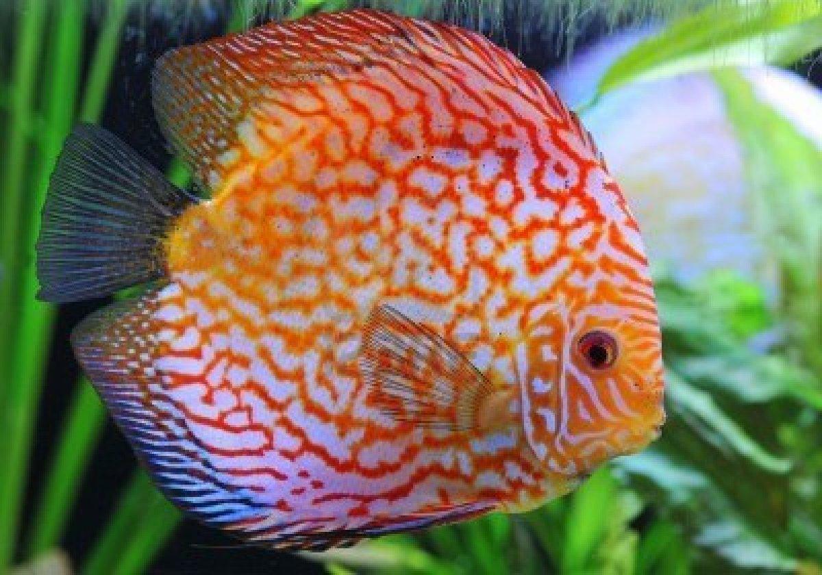 discus-fish-pic.jpg