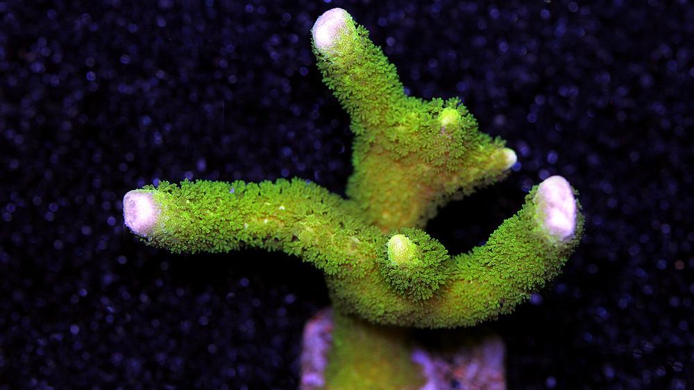 GreenMontiDigitatafrag.jpg