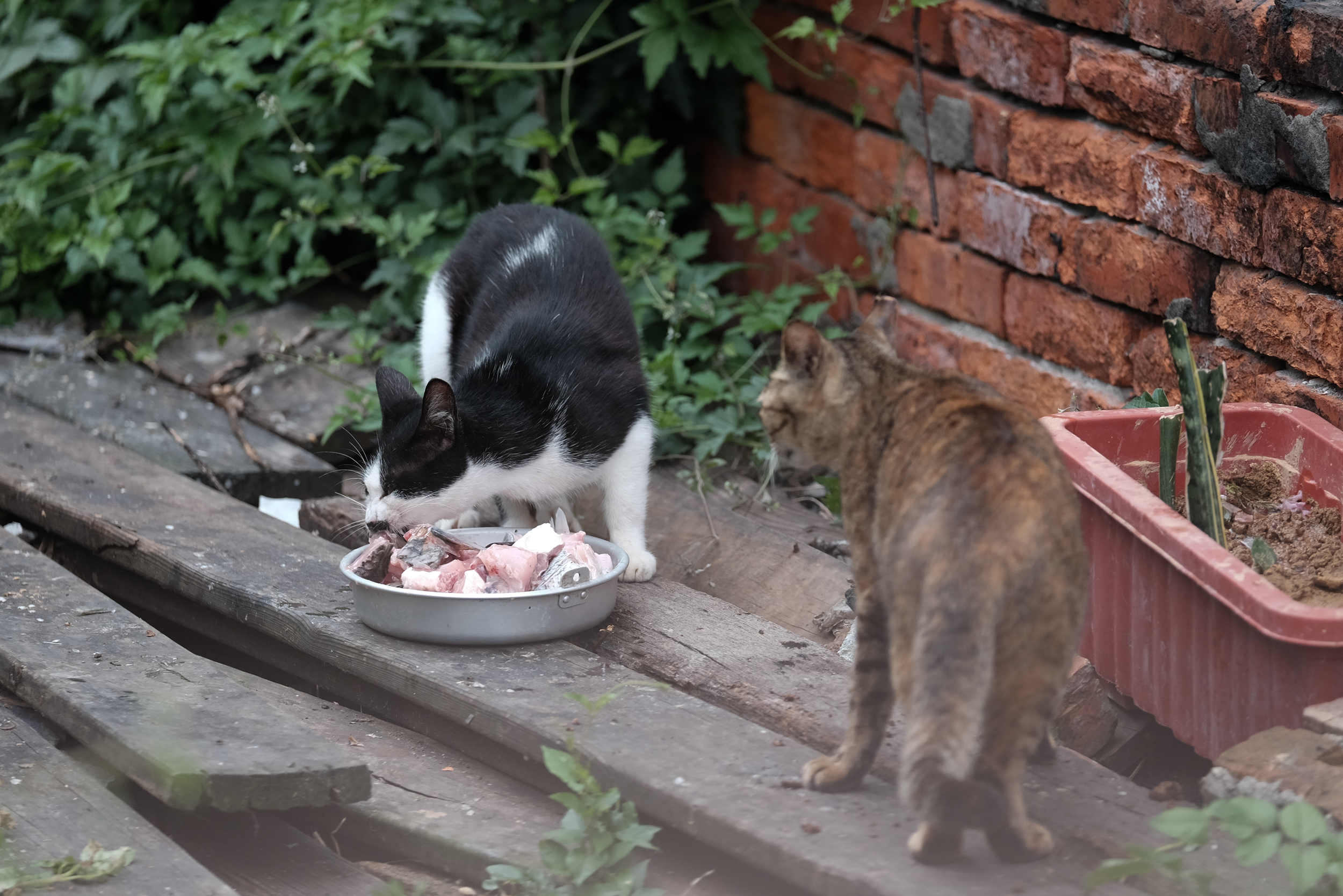 Happy cats chowing down on their raw fish dinner. Danshui 淡水