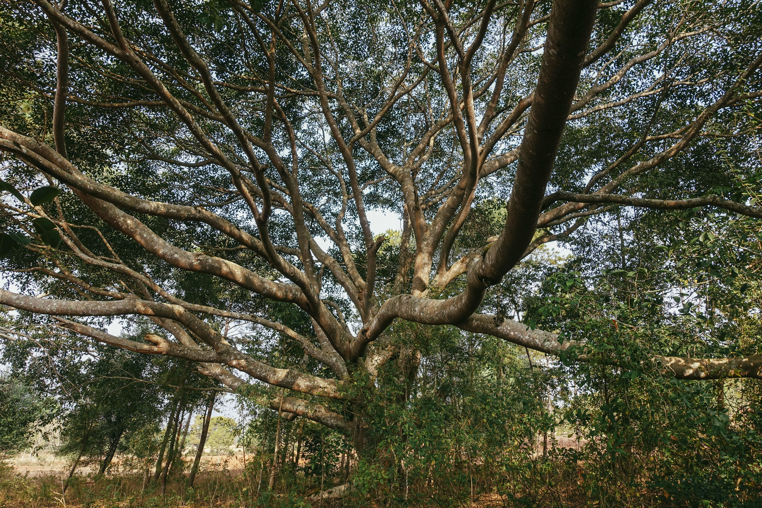 Giant banyan trees peppered the landscape