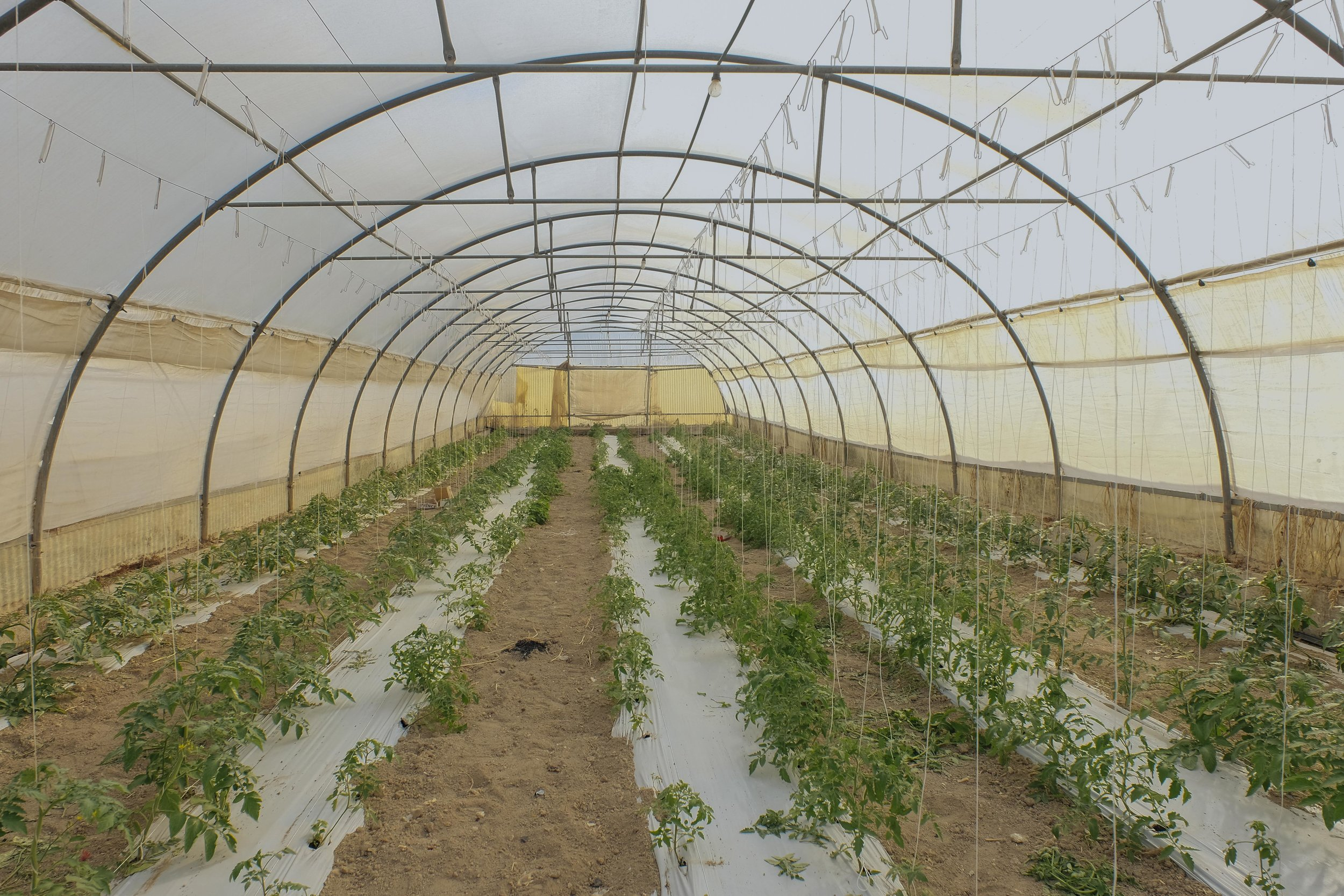 One of the greenhouses on the Bartolo farm. This one is being used to grow tomatoes.