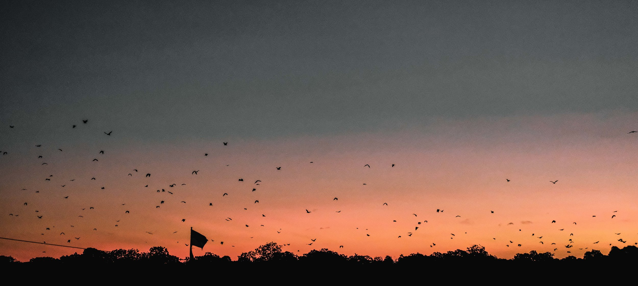 Thousands of flying foxes take off from the mangroves on Kalong Island, winging their way towards the mainland in search of food