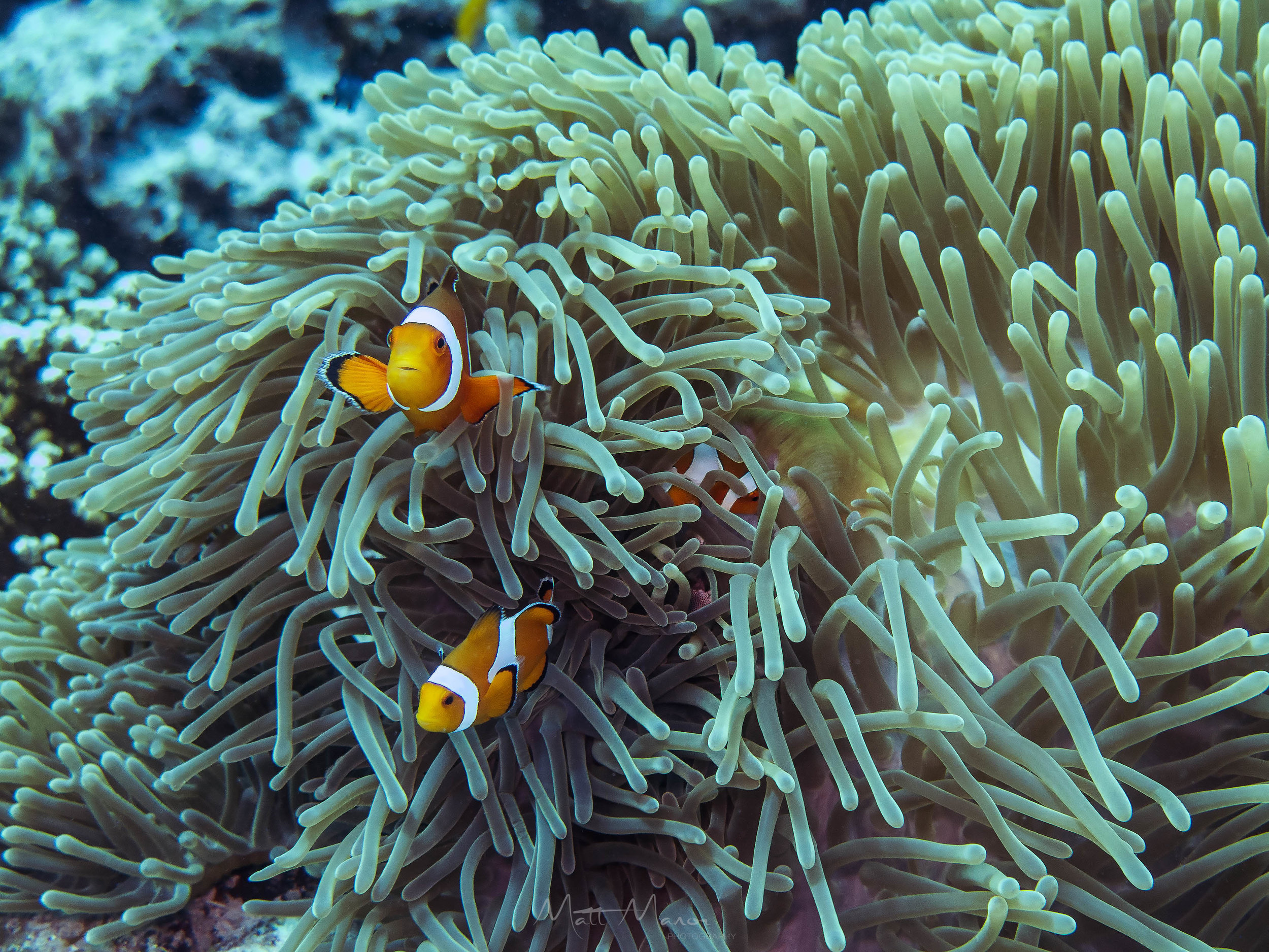 Clownfish in Anemone.jpg