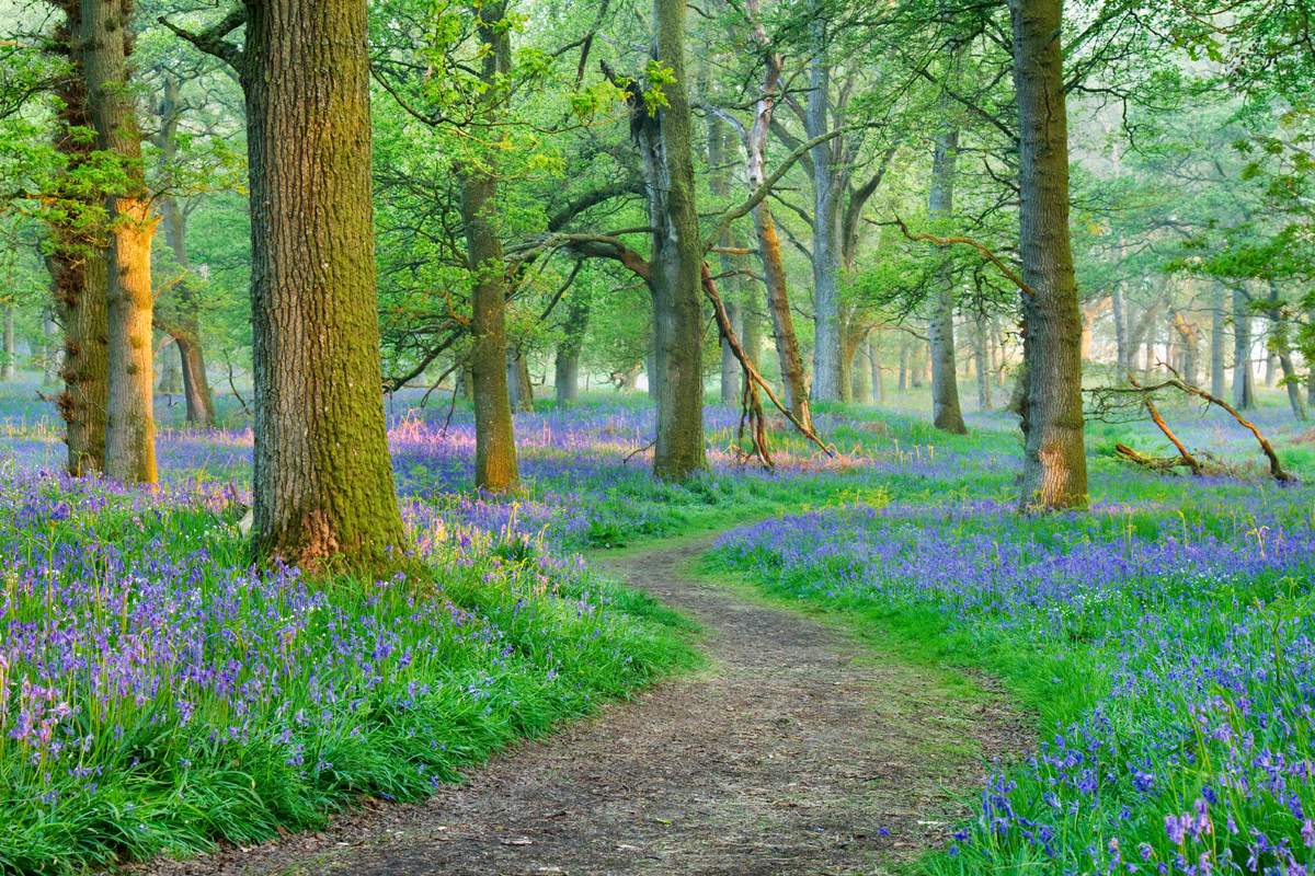 It wasn't until my move to Perthshire last year that I was able to finally find, what I think is the greatest show of bluebells in Scotland.