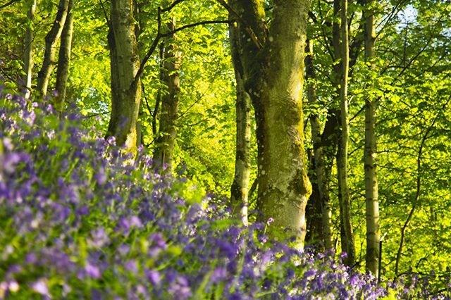 Had another fab morning out today hunting for the best bluebells Perthshire has to offer. I was back down by the river at Ballathie and my good ol' favourite Kinclaven Woods.  Follow me while I'm out in the field by watching my stories on instagram - gavinritchiephotography