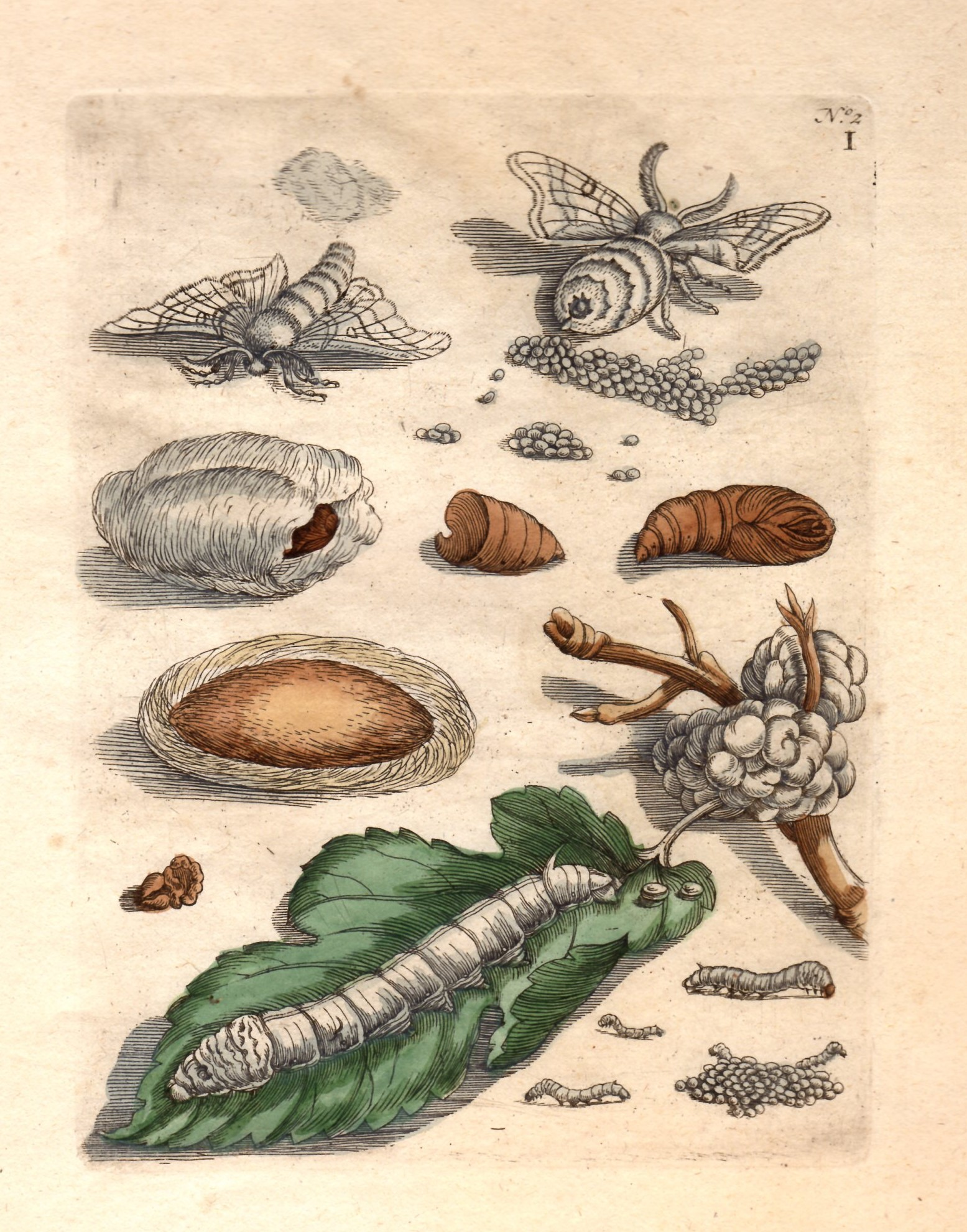 merian silk worms.jpg