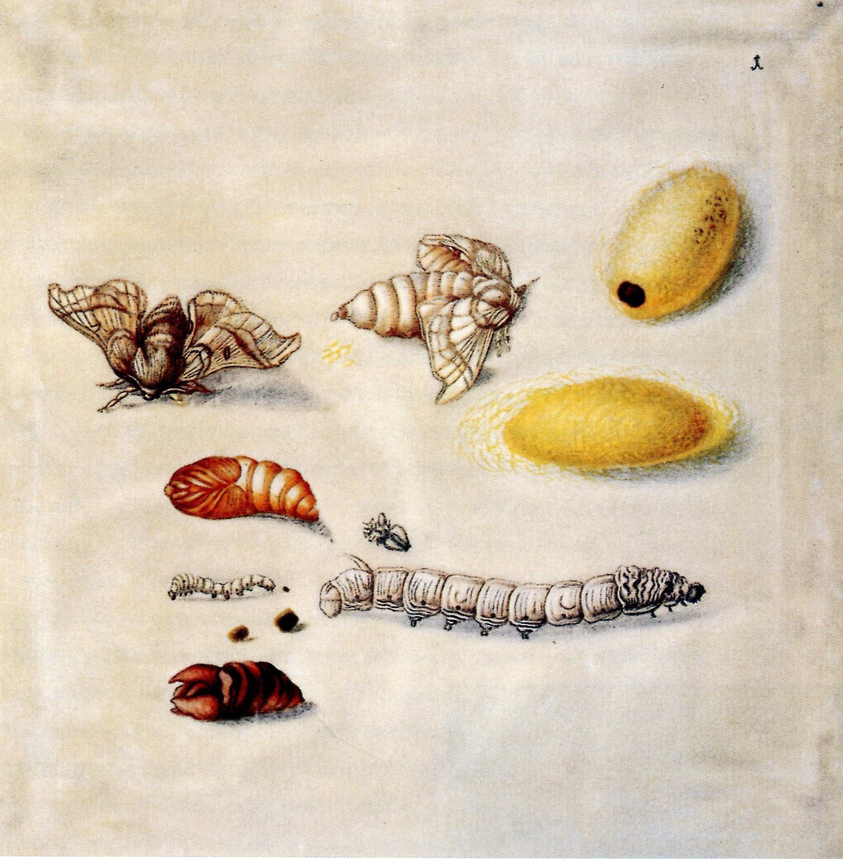 Maria Sibylla Merian, Metamorphosisi of the silkworm.jpg