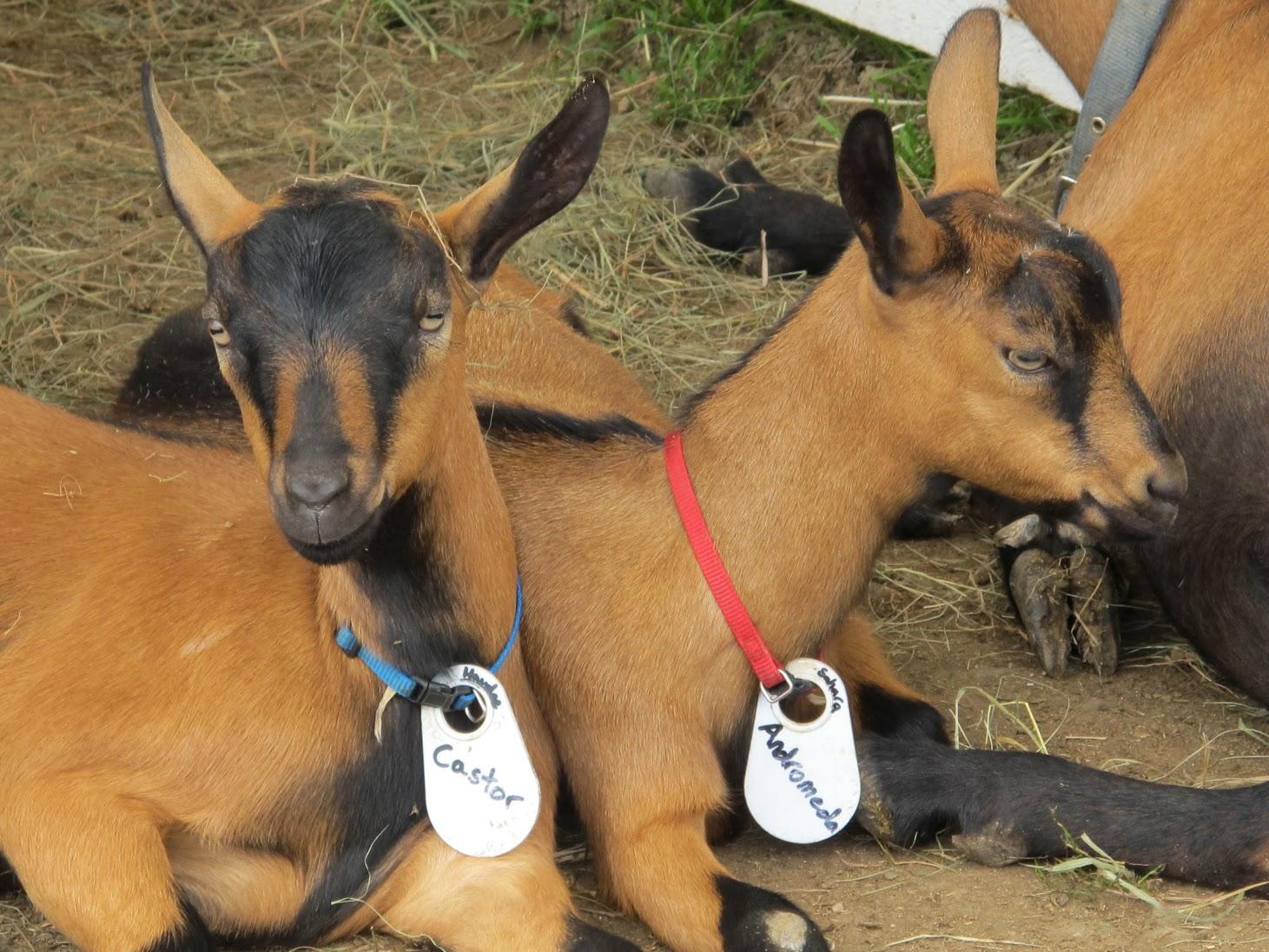 Goat Image.jpg