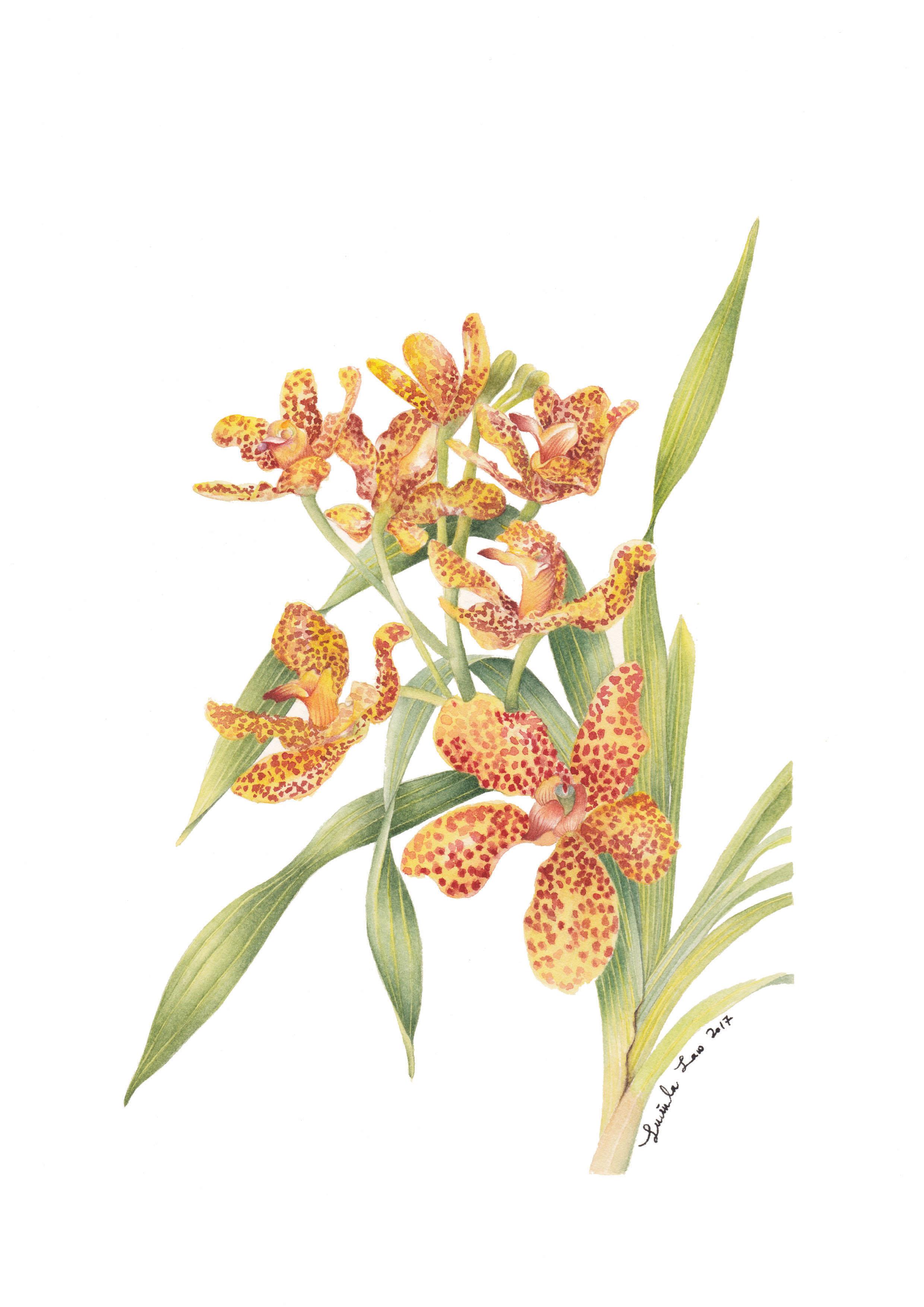 Tiger Orchid_A4_02.jpg