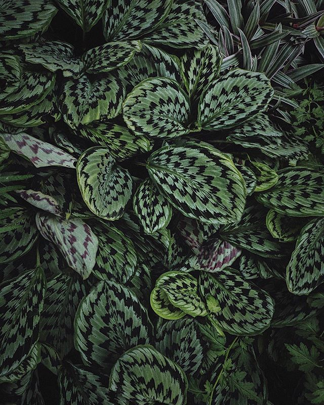 These leaves looks like they are buzzing!  It's a Ziggy zag kind of weekend up ahead for me as my brain is on a fuzzy high thinking about three ongoing projects at once! . #plants #gardens #botanicgarden #plantsofinstagram #plantsmakepeoplehappy #plantscout #urbanjungleblogger #plantlover #urbanjungle #leavesonlyleaves #plantsinfocus #botanical #foliage #leaves #plantstagram #plantlife #green #bigleaf #plantsplantsplants